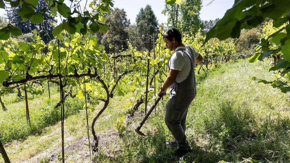 Indigenous North American grapevines may be California wine's answer to climate change