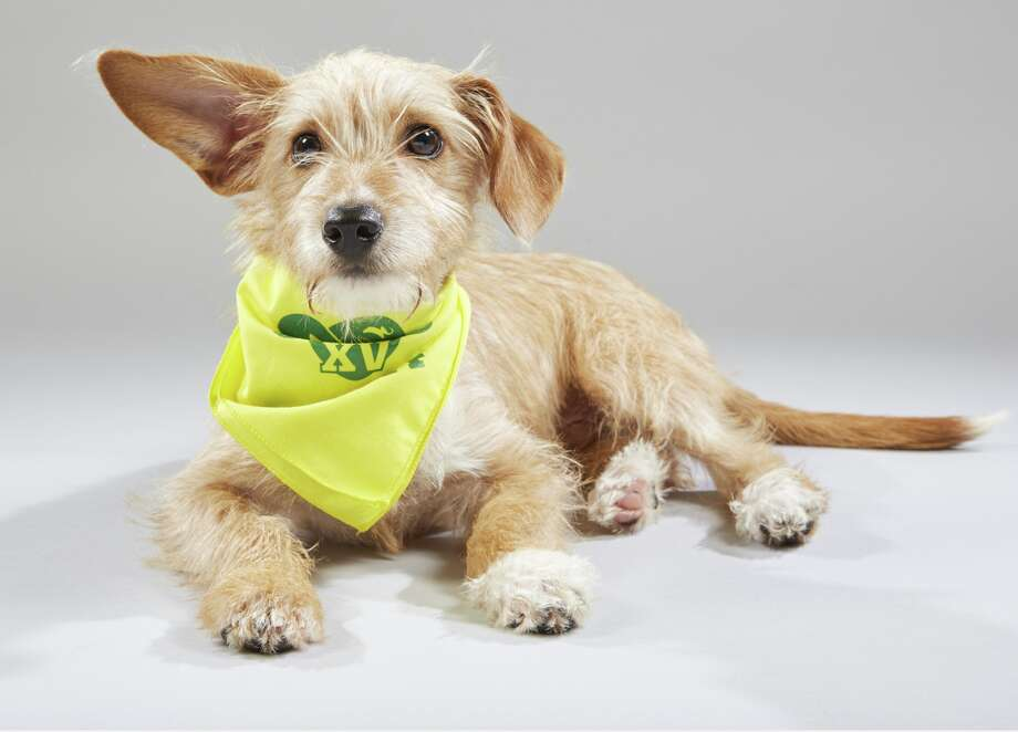 Walnut, a dachshund/chihuahua mix (chiweenie)from the Danbury Animal Welfare Society, is featured in the 2019 Puppy Bowl. Photo: DAWS