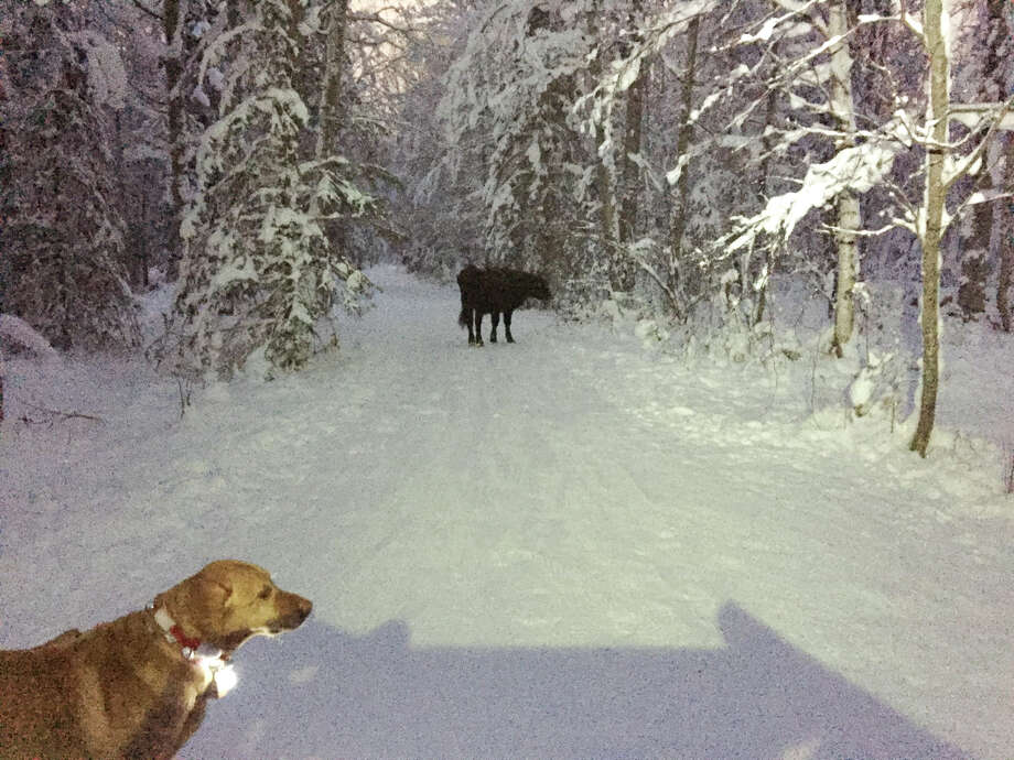 "In this Dec. 26, 2018 photo provided by Meg Kurtagh shows a cow in the middle of on the east side of Anchorage. A rodeo cow named Betsy has evaded capture for six months as she wanders the trails of Alaska's biggest city, the cow's owner said. The 3-year-old cow ""busted out"" of a pen before participating in junior events at the Father's Day Rodeo in Anchorage, rodeo promoter Frank Koloski told the Anchorage Daily News . Betsy headed to the Hilltop Ski Area and was spotted grazing on slopes during the summer, Koloski said. She then moved to the network of trails that crisscross the Anchorage Hillside when snow fell. (Meg Kurtagh via AP) Photo: AP"