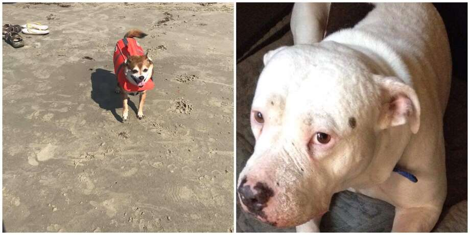 Freeman (left) and Chance (right) have both disappeared in San Antonio recently. Their owners are offering $400 and $500 rewards respectively. Photo: Courtesy Of Samantha Sanders And Warren Hammonds