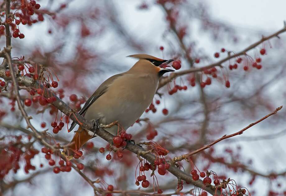 This Bohemian Waxwing, part of a large flock of Bohemian and Cedar Waxwings, was recently spotted eating berries on a tree in Stafford County Park, in Port Hope. Photo: Bill Diller/For The Tribune