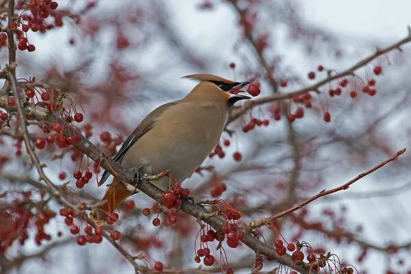 This Bohemian Waxwing, part of a large flock of Bohemian and Cedar Waxwings, was recently spotted eating berries on a tree in Stafford County Park, in Port Hope.