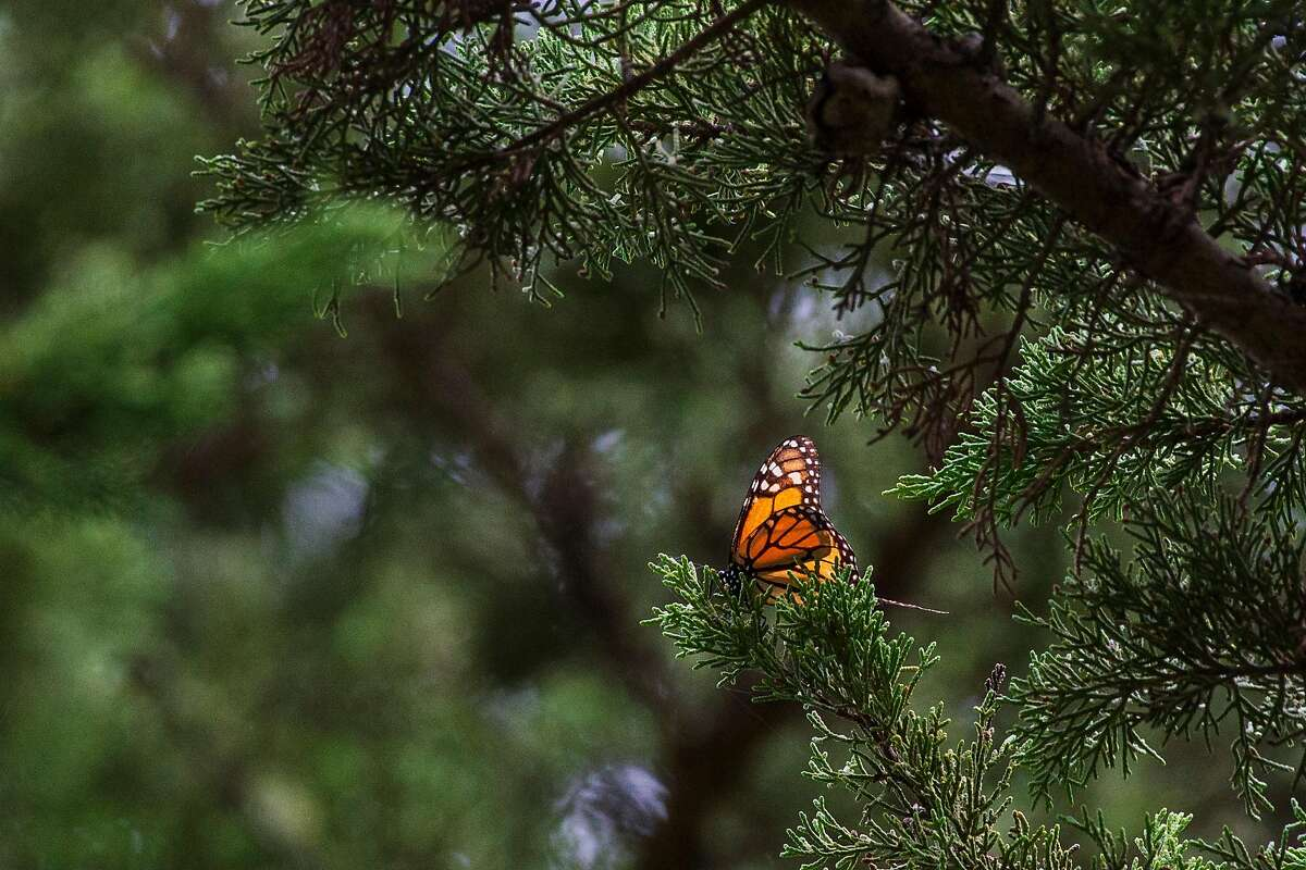 A Monarch butterfly on a Cypress tree branch at Lighthouse Field State Park in Santa Cruz, Calif. on Jan. 11, 2019.