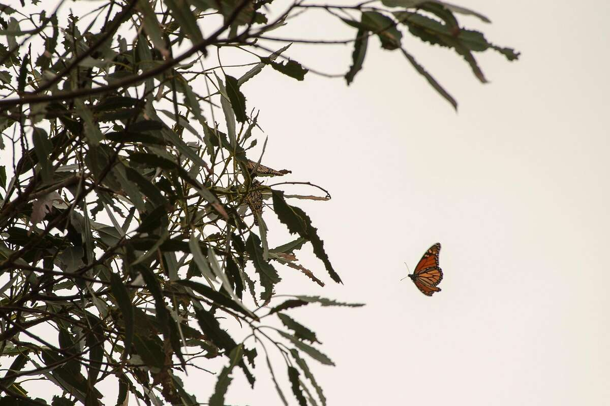 A Monarch butterfly flies by a Eucalyptus tree at Lighthouse Field State Park in Santa Cruz, Calif. on Jan. 11, 2019.