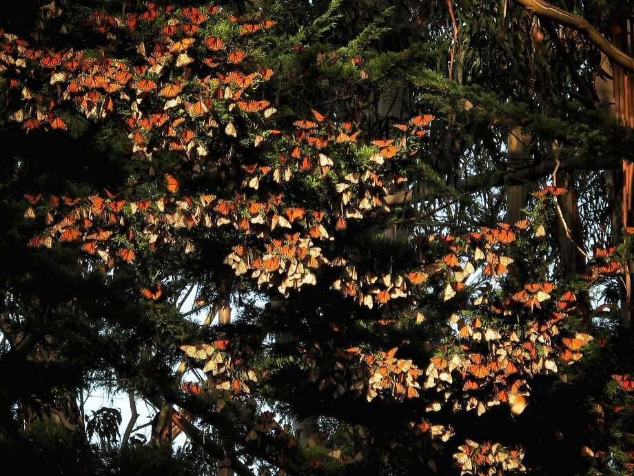 Butterflies are seen at Lighthouse Field State Park on Saturday, Jan. 13, 2018 in Santa Cruz, Calif. Photo: Russell Yip / The Chronicle
