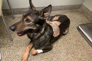 A police dog that was stabbed multiple times on Monday by a suspect in Vacaville has been released from the hospital, authorities said.