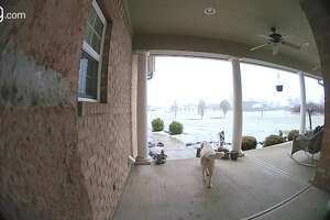 A white lab picks up a package from a California porch.