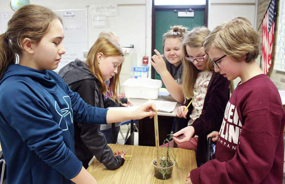 It's been a 12-week period of learning for Diana Schulz's 6th grade science classes at Laker Junior High. Students planted marigold and bean seeds in cups, and then watered the seeds as needed. They worked in groups and kept records of their plants. On the last day of the lab, students removed their plants from the soil and weighed and measured their plants, after removing the soil. They calculated how much weight their plants gained from the original seed. They also counted and weighed bean seeds, which will be used next year to grow more beans. Photo: Courtesy Photo
