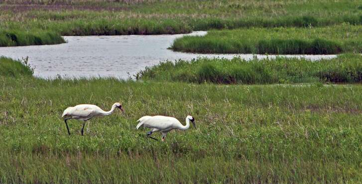 A juvenile whooping crane follows an adult at the Aransas National Wildlife Refuge in this photo taken aboard the Skimmer, a birding tour vessel sailing out of Rockport.
