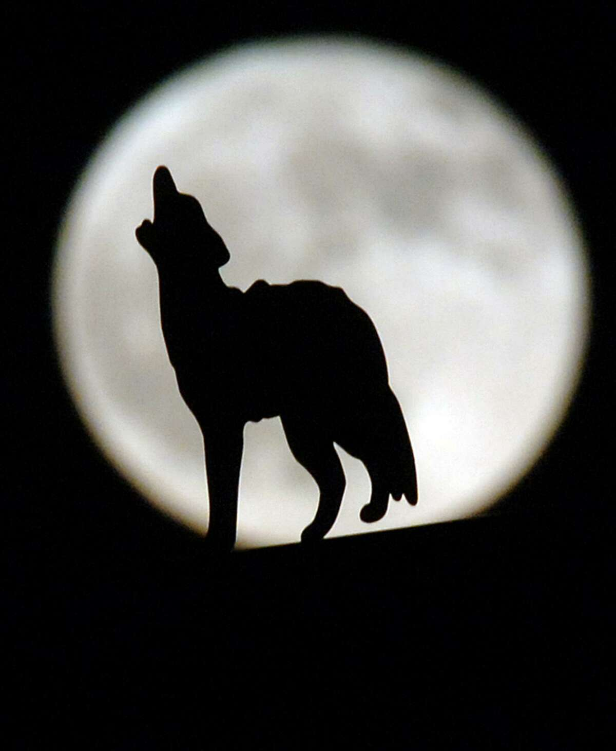 A wolf appears to be howling at the full moon in Rancho Cucamonga, Calif. In reality it is only a part of a lamppost decoration in the parking lot of a Bass Pro Shops. A