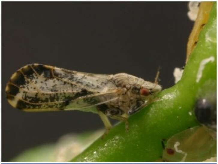 Asian citrus psyllid, an invasive pest, feeds on citrus leaves and stems, which can infect trees with the deadly Huanglongbing disease.