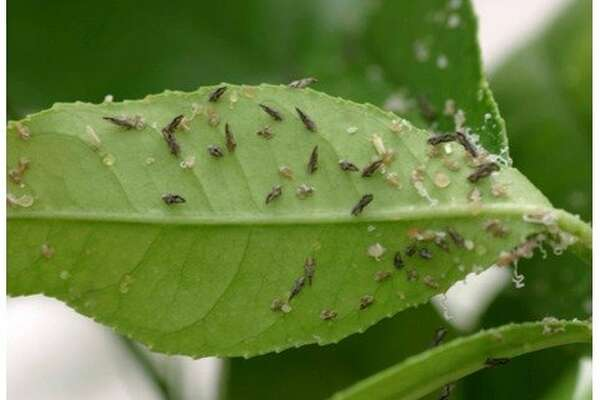 Invasive pest prompts quarantine of citrus plants in San Francisco