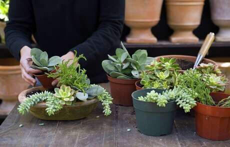 Many succulents are happy to spend their lives indoors. And with their usually shallow roots, you can combine them to make dazzling succulent bowls.
