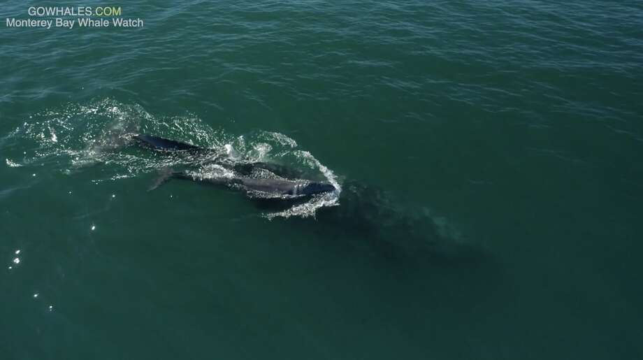 A newborn whale was seen in Monterey Bay in January 2019. Gray whales are migrating south for the winter from Alaska to Baja California. Photo: Monterey Bay Whale Watch