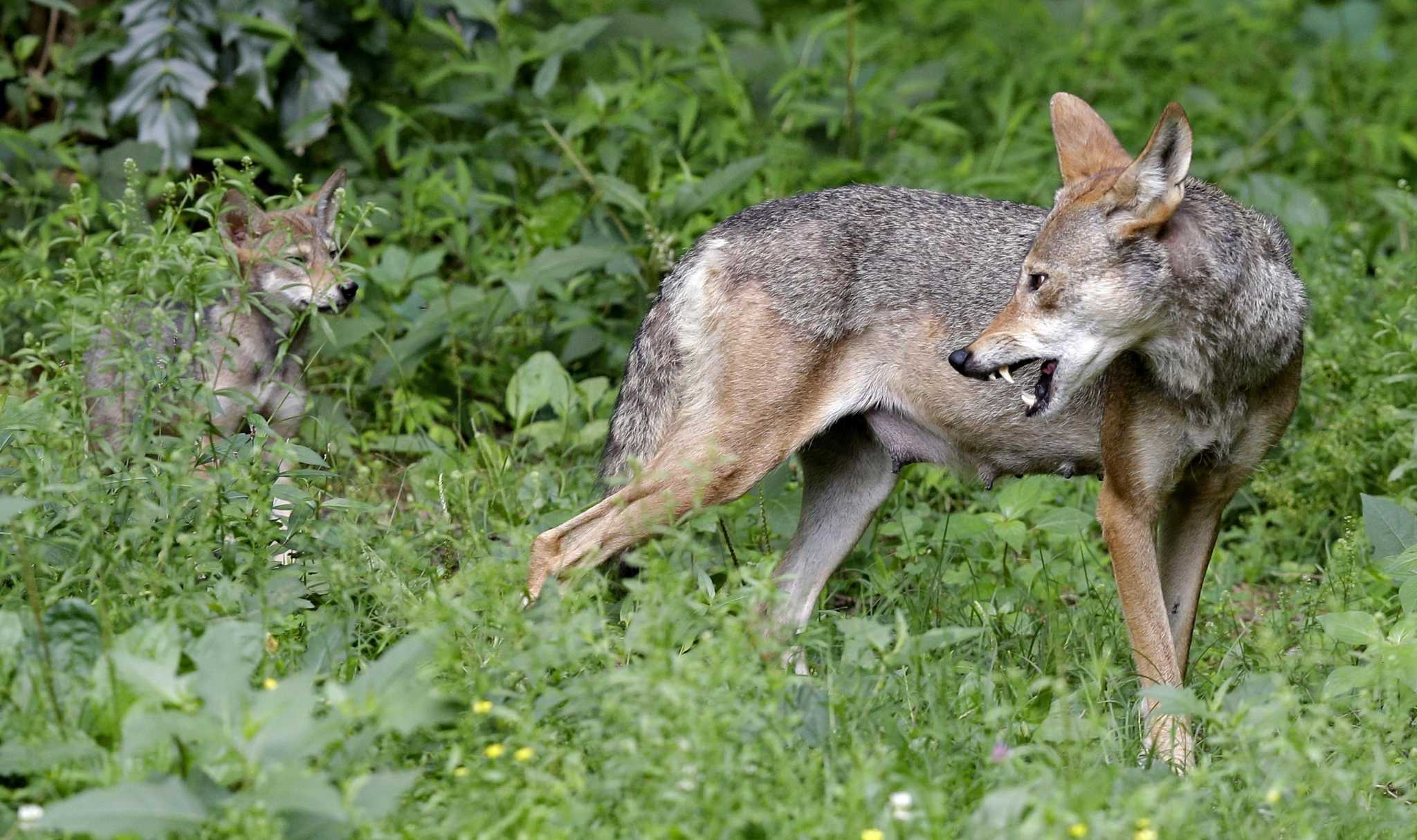 Galveston photographer's discovery led to breakthrough red wolf study