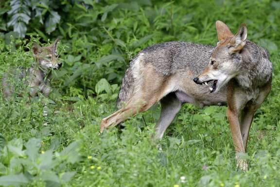 FILE - In this June 13, 2017 file photo, a red wolf female peers back at her 7-week old pup in their habitat at the Museum of Life and Science in Durham, N.C. A pack of wild canines found frolicking near the beaches of the Texas Gulf Coast have led to the discovery that red wolves, or at least an animal closely aligned with them, are enduring in secluded parts of the Southeast nearly 40 years after the animal was thought to have become extinct in the wild. (AP Photo/Gerry Broome, File)