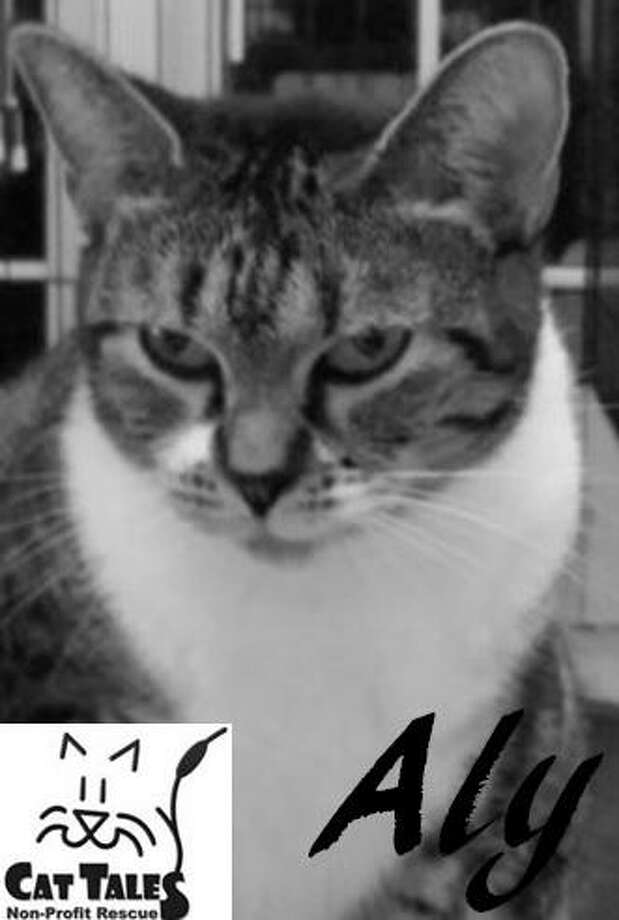 """Aly is a 6-year-old female brown tabby. She says, """"When I came to Cat Tales, I was an expecting mother and soon delivered four healthy kittens. I was a doting mom to the kittens but now that I know they have been adopted to good homes, I am ready for a forever home of my own. I love to be petted and even flip on my back for belly rubs. I purr softly to show my appreciation. I am a bit shy with people I don't know yet, so please be patient with me when you visit. Won't you come to visit so you can see what sweet kitty I am?"""" Visit http://www.CatTalesCT.org/cats/Aly, call 860-344-9043, or email info@CatTalesCT.org. Watch our TV commercial: https://youtu.be/Y1MECIS4mIc Photo: Contributed Photo"""