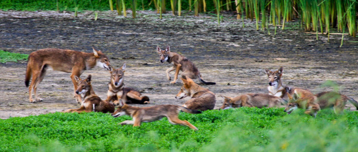 Photographer Ron Wooten captured images of a pack of Galveston Island Canids with red wolf genes.