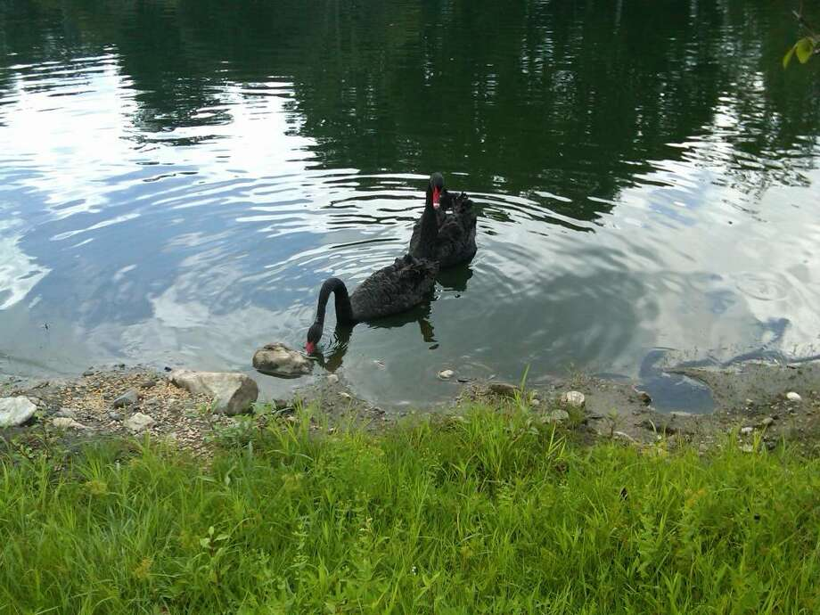 Two newly purchased black swans, seen here in this recent photo in a pond on a Taconic Road property in Greenwich, have disappeared from their new home. The owners have been searching for another pair of pet swans — two white mute swans named Fred and Ethel — since they went missing in June. Photo: Contributed Photo / Greenwich Time Contributed