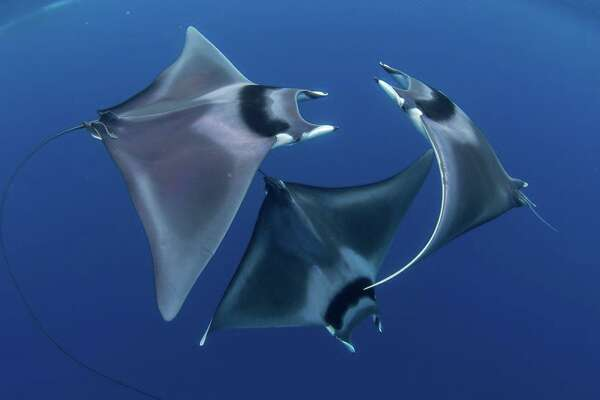 Paddle through 16 breathtaking and prize-winning underwater photos The Best of Show image from the 2018 Ocean Art Underwater Photo Competition was shot by Duncan Murrell in Honda Bay off the Philippines. It uses soft light to accentuate the swirling ballet of the three spinetail devil rays, as two males pursue a female. In addition to the best in show honor, Murrell won first place in the marine life category, and a cruise to Indonesia's southern islands.