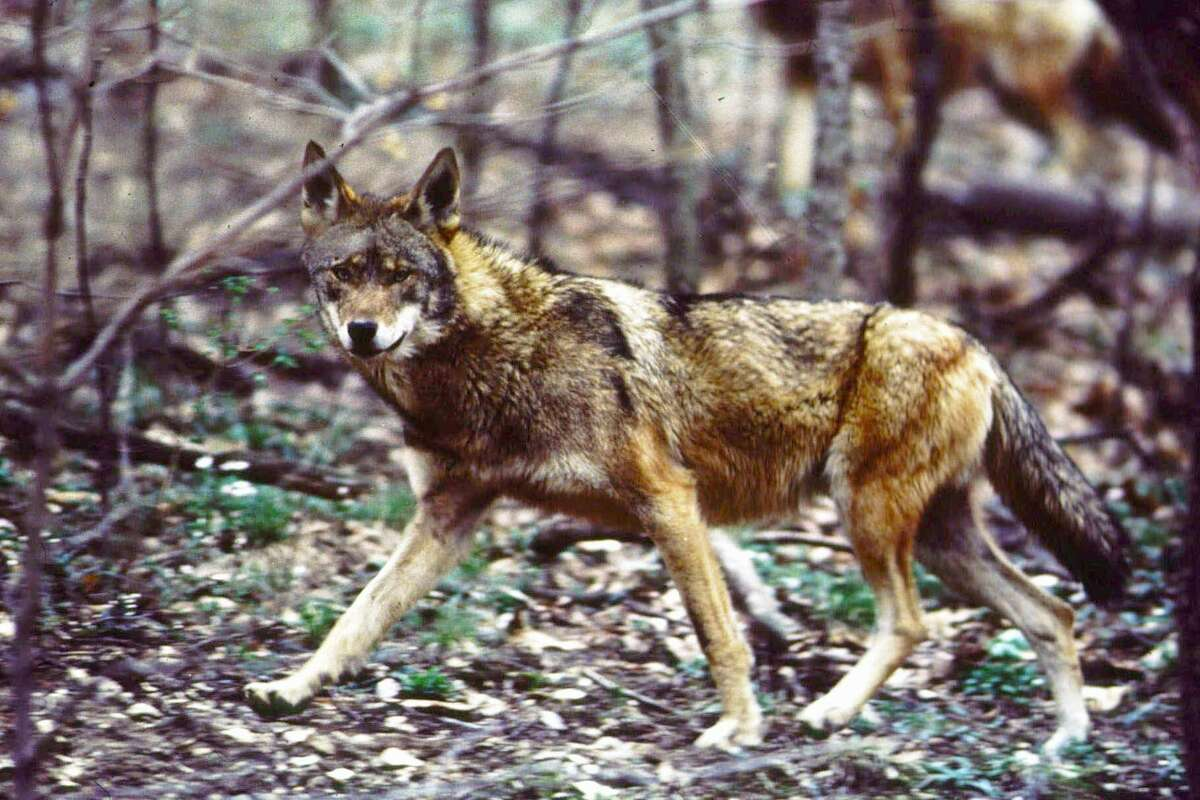 "Wild Canids Carry DNA of ""Extinct"" Red Wolves"