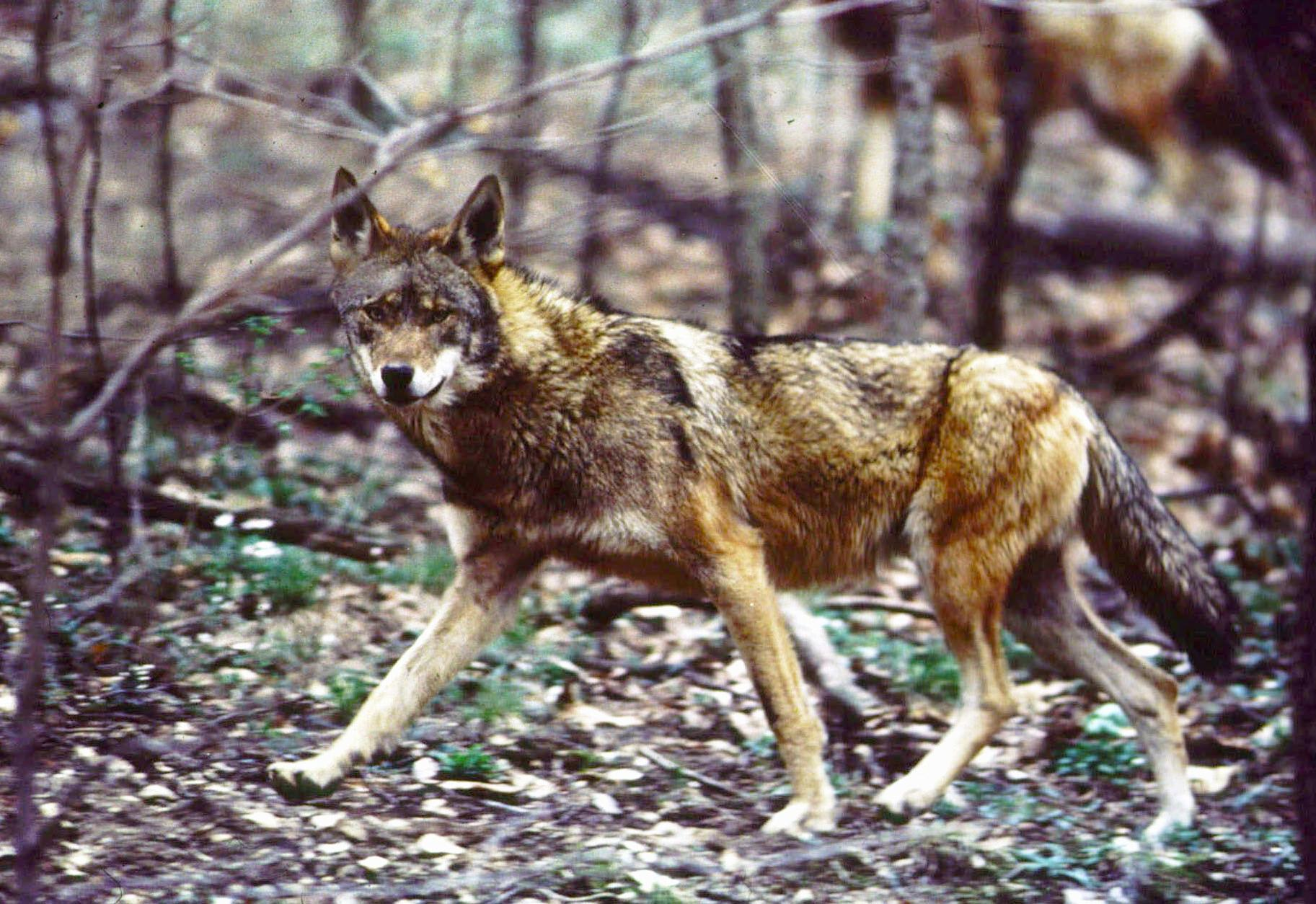 wild canids carry dna of  u201cextinct u201d red wolves