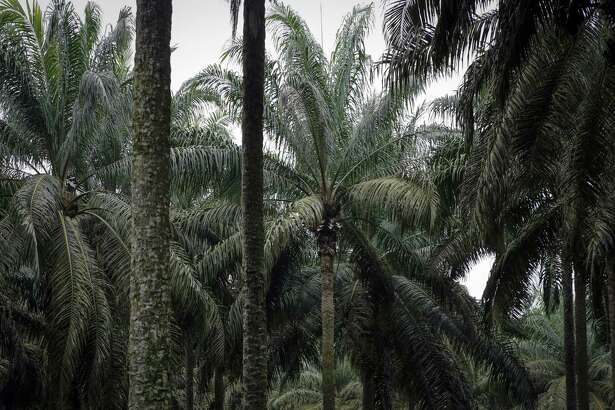 Palm tress at the Malaysian Palm Oil Board research plantation in Kluang, Johor, Malaysia, on Sept. 18, 2018.