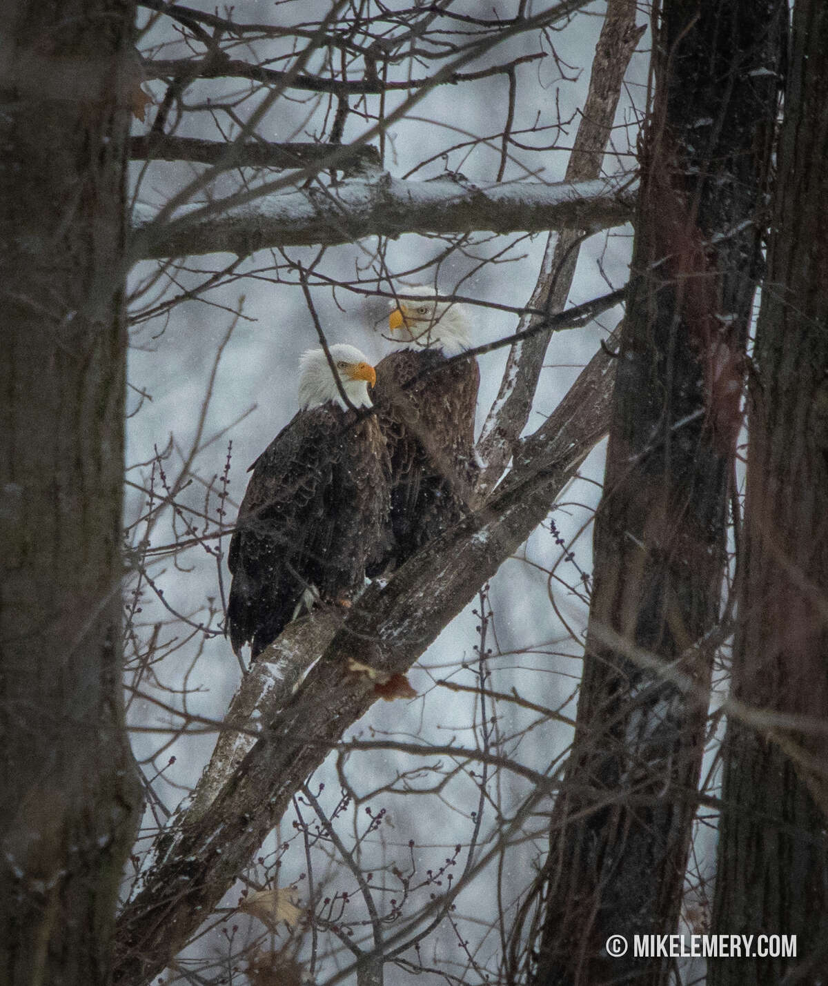 """Mike Lemery sent in an image with the note: """"Here is a mating pair of bald eagles that live in Cohoes on the Mohawk River hunkering down for the storm. Bald eagles mate for life and they have been around Cohoes for years."""" Photo submitted on Sunday, Jan. 20, 2019."""