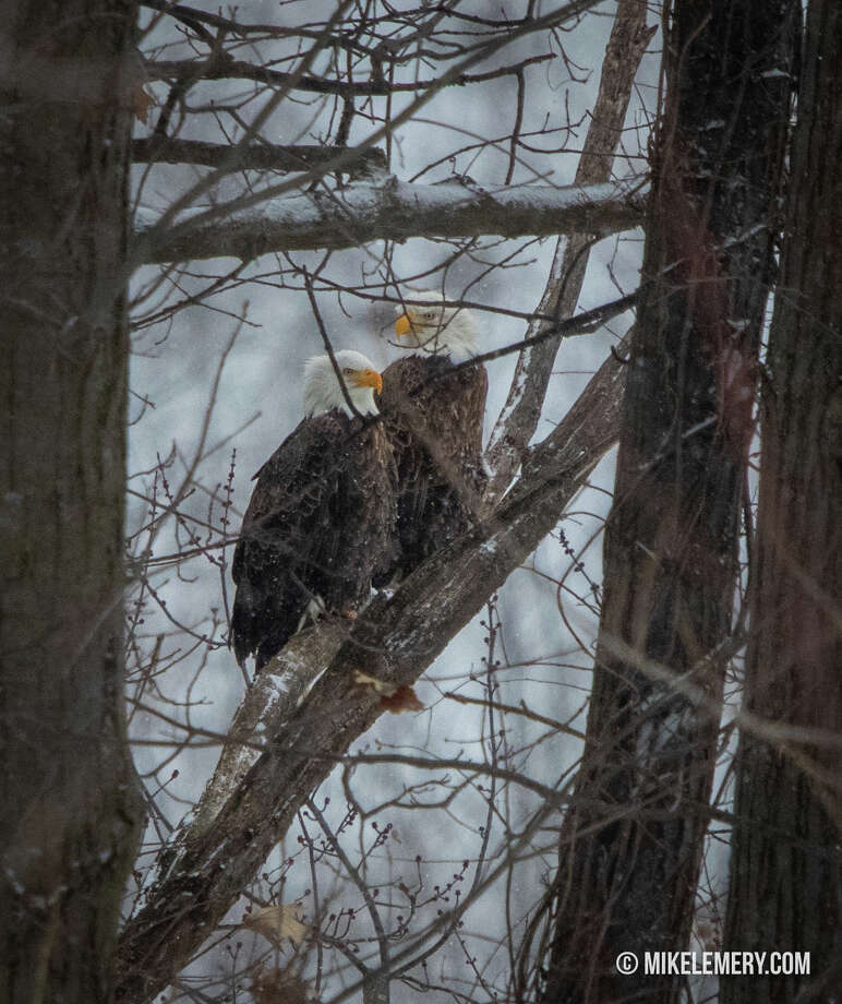 """Mike Lemery sent in an image with the note: """"Here is a mating pair of bald eagles that live in Cohoes on the Mohawk River hunkering down for the storm. Bald eagles mate for life and they have been around Cohoes for years."""" Photo submitted on Sunday, Jan. 20, 2019. Photo: Mike Lemery, Times Union Reader"""