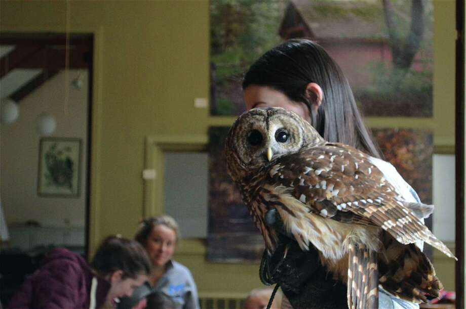 Brisby the barred owl makes an appearance at the Connecticut Audubon Society's owl program, Saturday, Jan. 19, 2019, in Fairfield, Conn. Photo: Jarret Liotta / For Hearst Connecticut Media / Fairfield Citizen News Freelance