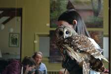 Brisby the barred owl makes an appearance at the Connecticut Audubon Society's owl program, Saturday, Jan. 19, 2019, in Fairfield, Conn.