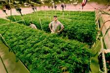 A file photo of the room in which marijuana plants are given carefully controlled lighting to help them flower into maturity at Advanced Grow Labs in West Haven.