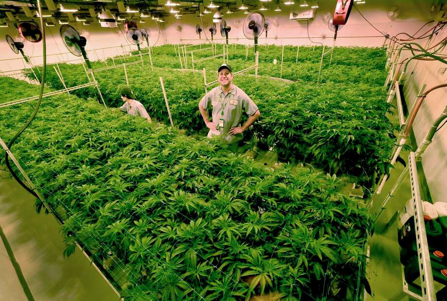 West Haven, Connecticut - June 1, 2018: With many new medical marijuana patients in Connecticut and seven or more new medical conditions about to be approved, is there enough supply of medical marijuana to meet demand?Advanced Grow Labs CEO David Lipton, right, stands high in a Flower Room that was modified to grow more marijuana plants by using rolling bench tables to better utilize the square footage of the room. Tyler McKinley, an AGL production team member, left, opens up the canopy of the cannabis plant so light my penetrate the lower flowering sights of the plant. Expansion of space at Advanced Grow Labs of West Haven, one of four marijuana growers in Connecticut that supply medical marijuana, is important to meet the supply and demand of the product. Photo: Peter Hvizdak / Hearst Connecticut Media / New Haven Register
