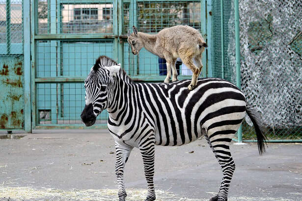 A young markhor wild goat at Izu Animal Kingdom in Higashiizu, Shizuoka Prefecture, Japan, has been entertaining zoo visitors by jumping onto a zebra's back. The goat, named Kinako, was born last May. According to the zoo, the goat started jumping onto the back of the zebra, which was reared with her, around the end of 2018. To get on the zebra's back, the energetic markhor has to jump more than 1 meter (about 3 feet), and usually does so after she gets tired of eating grass. The zebra has not seemed to mind, zoo officials said.