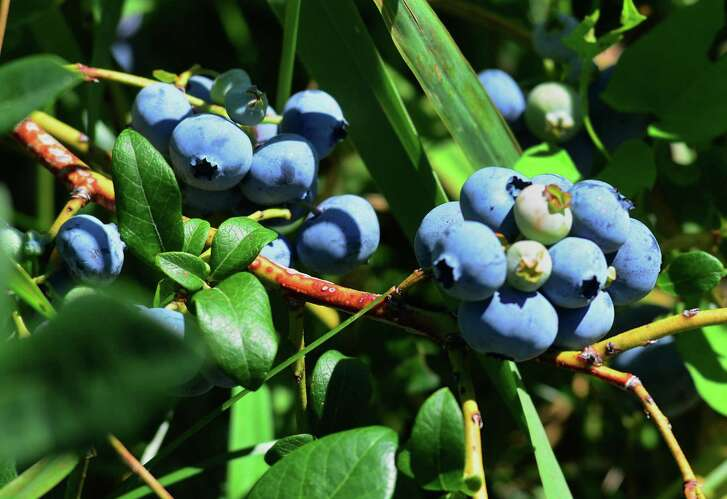 Blueberries are in season at Jones Family Farm in Shelton, Conn., on Wednesday, July 18, 2018. The farm is open for field entry on Tuesday - Saturday, 9:00am to 5:30pm (with picking available until 6:00pm.) We are closed for picking on Sundays and Mondays during this season. For the Farmer Jones' Crop Report call: (203) 929-8425