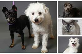 Dogs, cats, chinchillas and more animals ready to be adopted from Houston Humane Society. Photographed Tuesday, Jan. 22, 2019, in Houston.