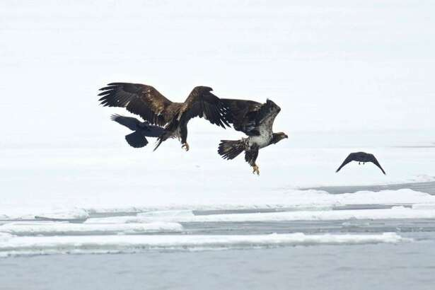 Eagles, once rare, are now commonly seen fishing along the unfrozen stretches of the lower Connecticut River. To celebrate these winter wonders, the Connecticut River Museum has planned a range of programs and activities.