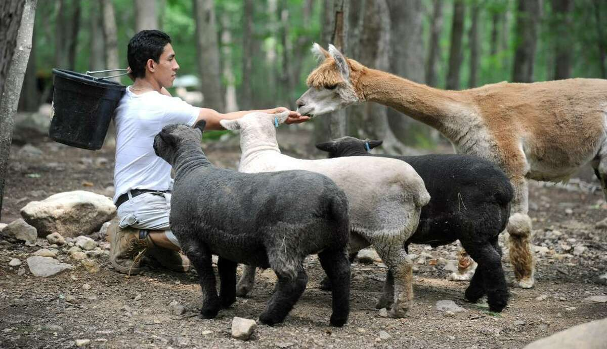Luis Picoita, a staff member at Binn farm in Ridgefield, feeds some of the animals, including some sheep and an alpaca, Wednesday, July 21, 2010.