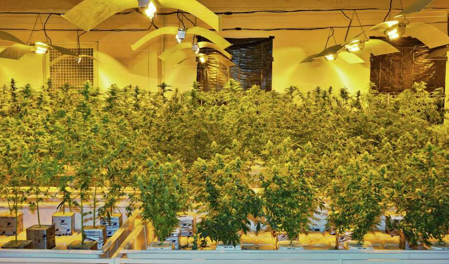 Cannabis plants at Vireo Health of New York's Tryon Technology Park and Incubator Center Thursday Nov. 12, 2015 in Perth, NY. (John Carl D'Annibale / Times Union) Photo: John Carl D'Annibale / 10034216A