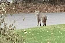 This bobcat was spotted on Thursday morning in the back yard of a Peaceful Lane home, in the Wolfpit area of Norwalk close to the Westport town line.