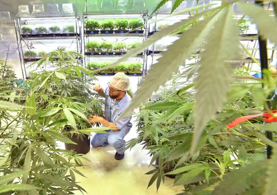 Advanced Grow Labs production team member Steve Hobart with marijuana plants in West Haven last year. Photo: Peter Hvizdak / Hearst Connecticut Media / New Haven Register