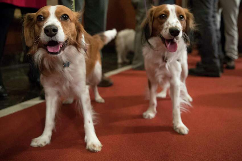 FILE - In this Jan. 10, 2018 file photo, Nederlandse kooikerhondje Escher, left, and Rhett are shown during a news conference at the American Kennel Club headquarters in New York. The Nederlandse kooikerhondje, originally a Dutch duck-hunting dog, is one of two breeds eligible to compete in the Westminster dog show for the first time in 2019.