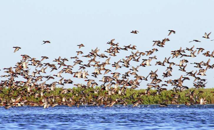 Texas coastal bays typically winter as many as 60-75 percent of North America's redhead duck population. But concentrations of the big diving ducks have been a rare sight for waterfowlers during the duck hunting season ending Jan. 27.