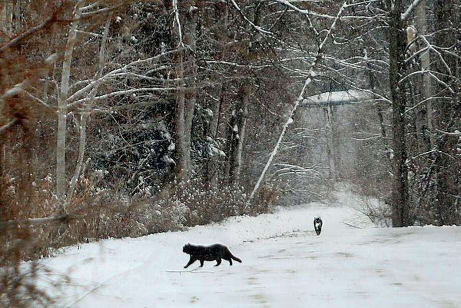 Feral cats walk down a snowy road behind the Fruchey Plaza in Beaverton on Wednesday. For years, Beaverton residents used the area to rid themselves of cats. That has led through reproduction to at least 50 plus cats living there. The cats are cared for by residents and business owners who feed and house the growing clan. (Katy Kildee/kkildee@mdn.net)