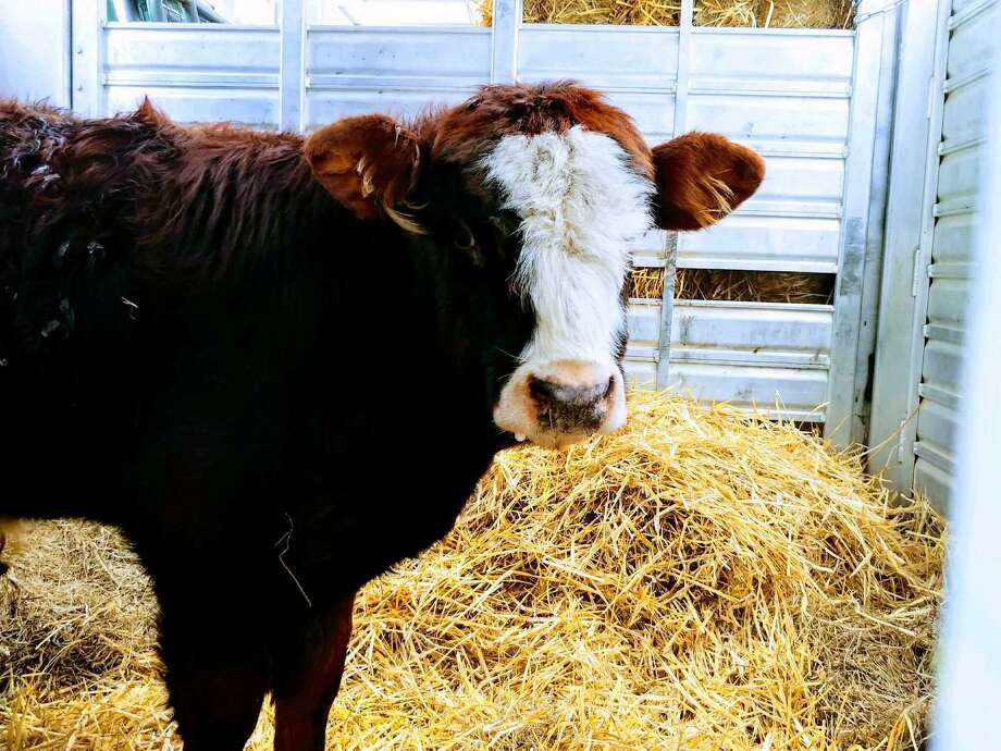 Finn the cow has been wandering in the woods in New Britain for three weeks. On Wednesday, Jan. 23, 2019, Farm Sanctuary, a farm animal rescue group, was able capture Finn and take him to their santuary in Watkins Glen, N.Y. Photo: /