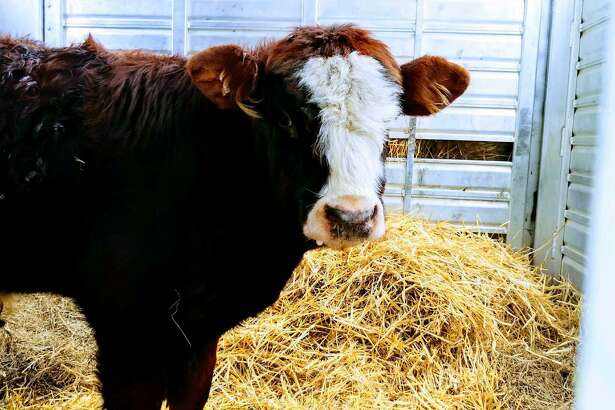 Finn the cow has been wandering in the woods in New Britain for three weeks. On Wednesday, Jan. 23, 2019, Farm Sanctuary, a farm animal rescue group, was able capture Finn and take him to their santuary in Watkins Glen, N.Y.