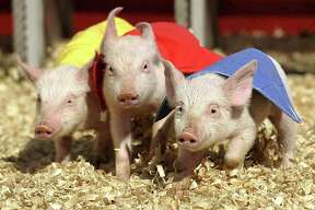 Racing pigs leave the starting gate at the Swifty Swine Pig Races, a popular show at the San Antonio Stock Show & Rodeo.