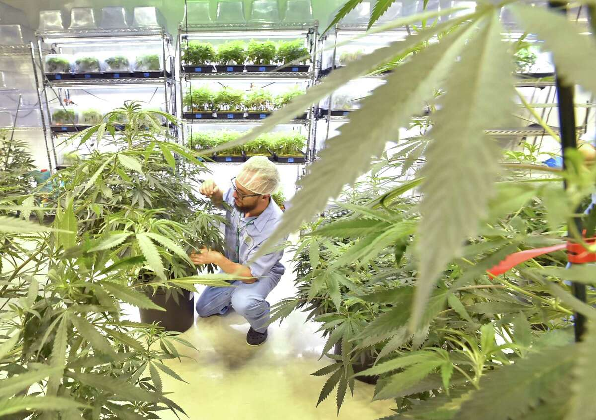 West Haven, Connecticut - June 1, 2018: With many new medical marijuana patients in Connecticut and seven or more new medical conditions about to be approved, is there enough supply of medical marijuana to meet demand?Advanced Grow Labs production team member Steve Hobart, in an expanded