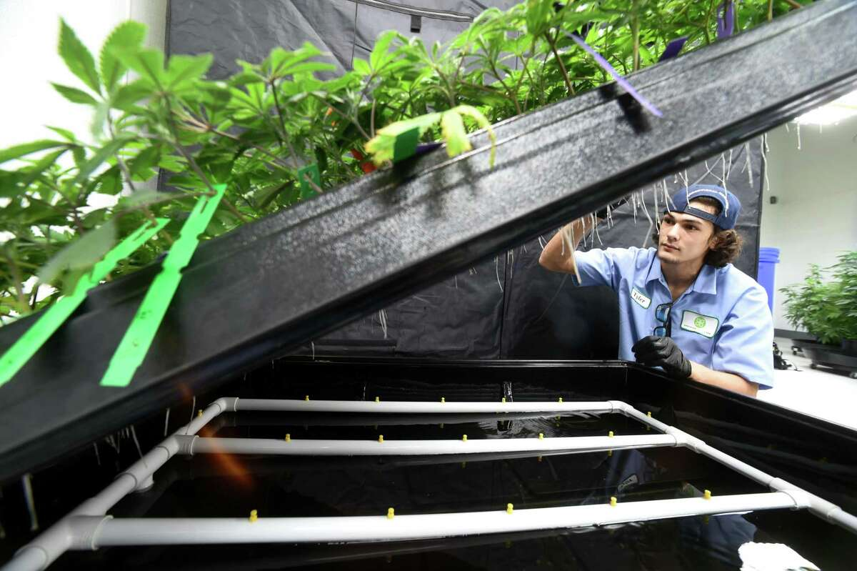 (Peter Hvizdak - New Haven Register) Tyler McKinley, a production assistant at Advanced Grow Labs, a medical marijuana production facility in West Haven, Connecticut, maintains a hydroponic cloning system that grows marijuana plants from the cuttings of