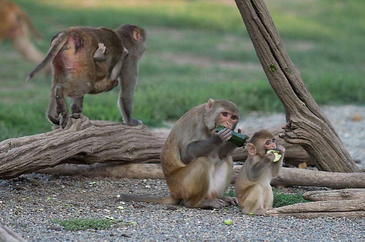 The California National Primate Research Center at UC Davis relies on these and other monkeys for medical and behavioral studies.